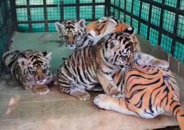 Осиротевших тигрят спасла игрушечная «мама»