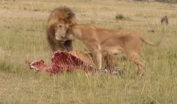 Лев прогнал прочь от добычи гиен, обидевших львицу: видео