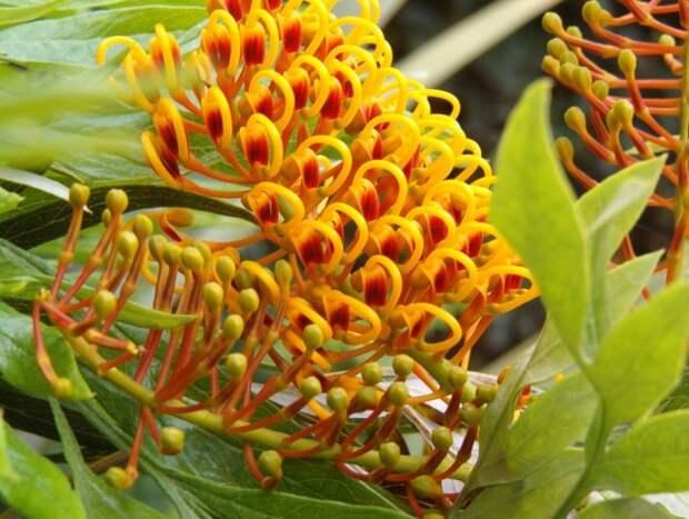 Гревиллея крупная, или Гревиллея мощная (Grevillea robusta)