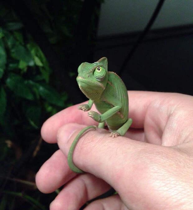 cute-baby-chameleons-5830359e75446__700