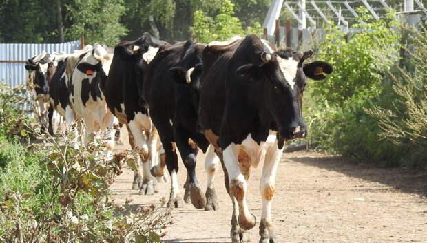 В Подмосковье началась заготовка кормов для скота