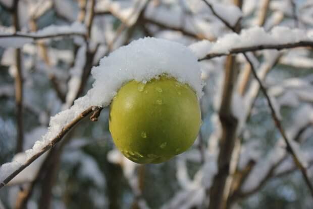 Apple, Зимой, Снег, Зеленый, Яблоня, Белый, Фруктов