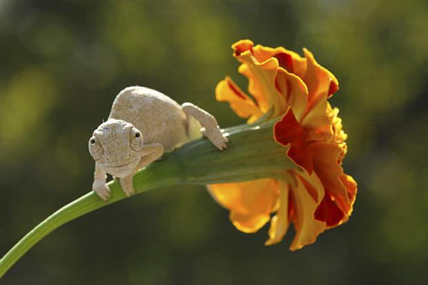 cute-baby-chameleons-58302c1c31297__700