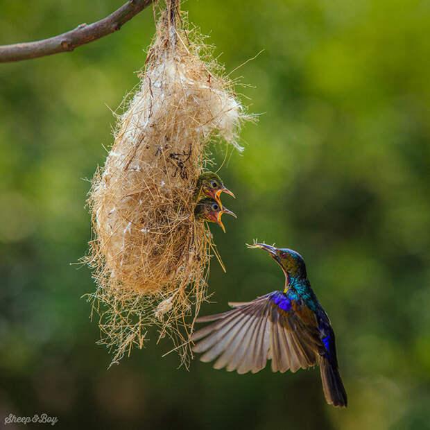 Пока птенцы остаются в гнезде, нектарницы выкармливают их исключительно насекомыми.
