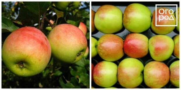 яблоки северный синап