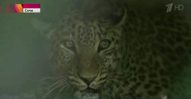 Сразу шесть переднеазиатских леопардов в питомнике Сочи готовятся к выпуску в дикую природу