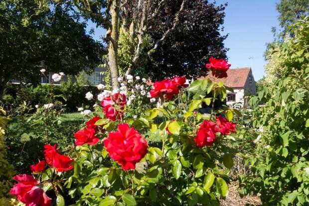Завидую красивейшим розам соседки, с пирогом иду выведать ее секретики