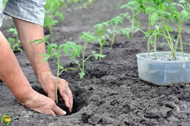 Проблемы с рассадой после высадки в грунт и пути решения