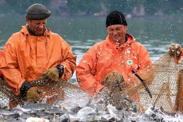 В дельте Амура продолжается истребление лосося, но ни СК ни Прокуратура не реагируют – почему