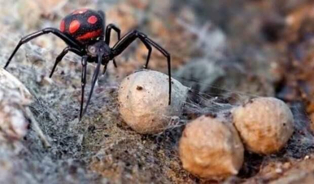 Ядовитые пауки атакуют: 30 волгоградцев вбольницах