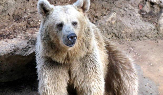 Под Хабаровском раненый медведь убил человека