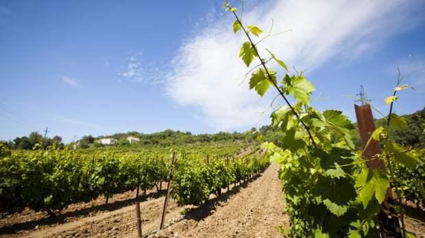 Минсельхоз РК: Более, чем в три раза нарощена площадь посадок виноградников Республики Крым с 2014 по 2020 год