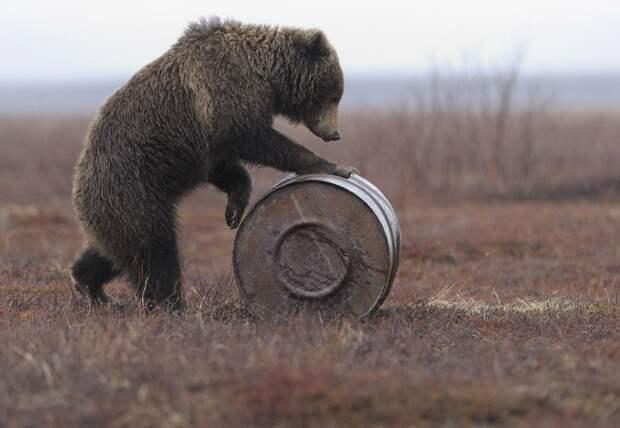 Зачем медведи встают за задние лапы?