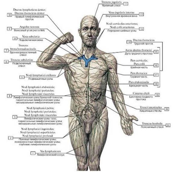 Сломана лимфа — значит мы будем плеваться через кожу (700x644, 91Kb)