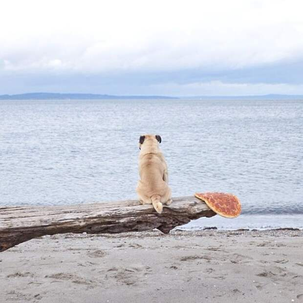 Мопс сидит на коряге и смотрит в морскую даль.