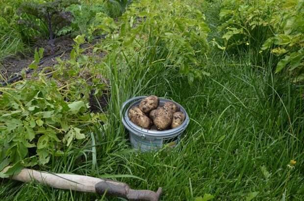 Как собрать урожай картошки два раза в год?