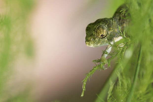cute-baby-chameleons-5830bd0240439__700