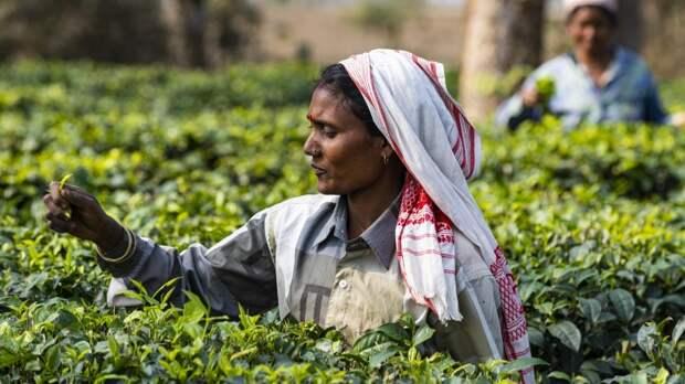 Россияне узнали альтернативу дорожающему индийскому чаю