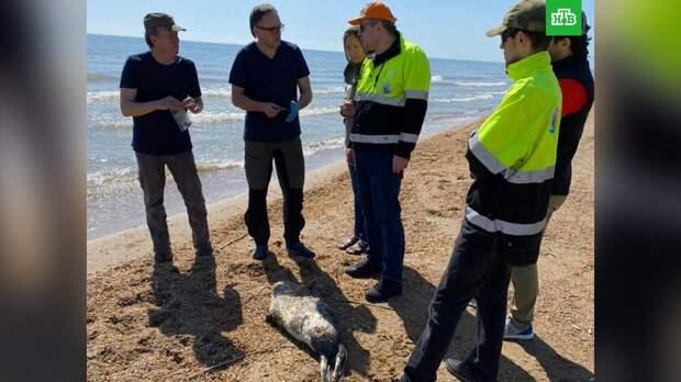 150 мертвых краснокнижных тюленей нашли на побережье Каспийского моря