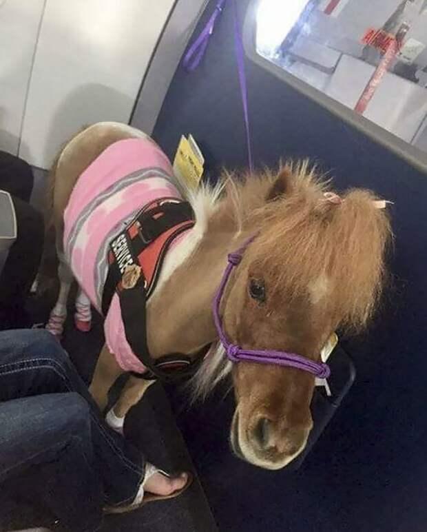 Оказывается, пони тоже бывают животными-помощниками животные, забавно, летайте самолетами, мило, пассажиры, самолет, собаки, хвостатые пассажиры