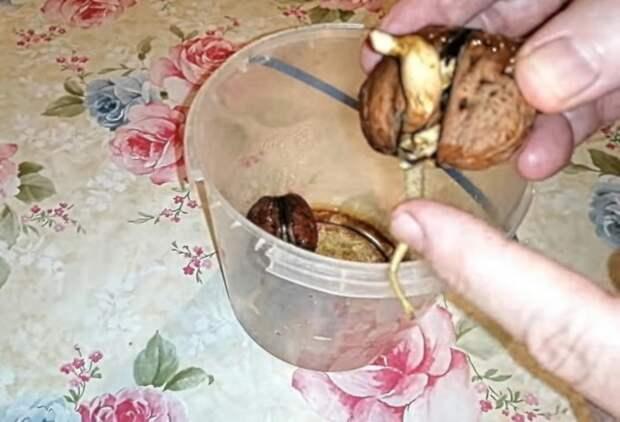 Простейший способ в домашних условиях прорастить грецкий орех