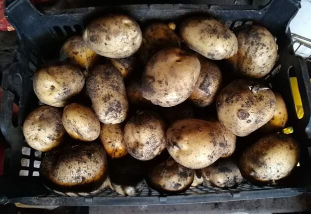 Урожай картофеля, фото автора