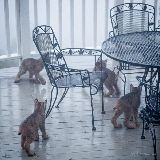 Житель Аляски проснулся и обнаружил неожиданных гостей։ семейство из семерых рысят