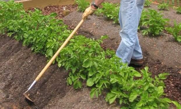 Правильное окучивание картофеля – сроки, инструменты и надо ли вообще