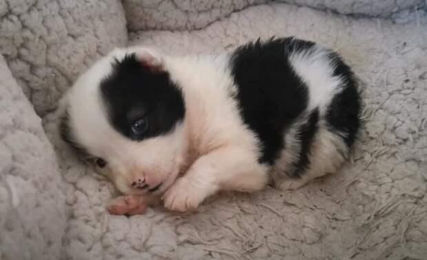 Маленькая беззащитная собачка с мордочкой медвежонка, скулила от голода, бродя по стройке