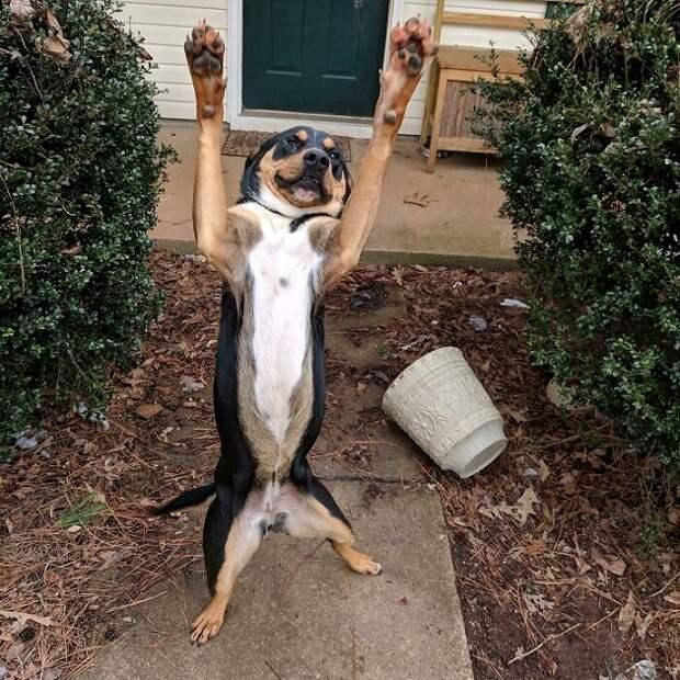 собака стоит на задних лапах с передними лапами вверх