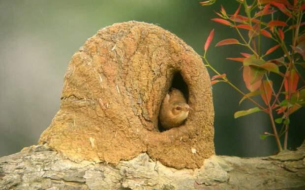 Рыжий печник: Замуровывает окна людей, строя сверхпрочные тяжеленные гнезда из глины