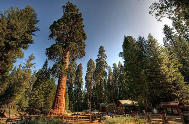 Секвойядендрон Генерал Шерман - 83,8 м. Известно с 1879 года (Национальный парк «Секвойя», Калифорния, США).