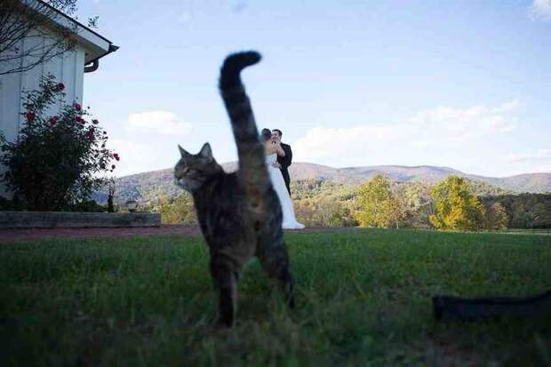 Кот, который гуляет на свадьбе сам по себе в кадре, главные герои, животные, забавно, смешно, фото, юмор