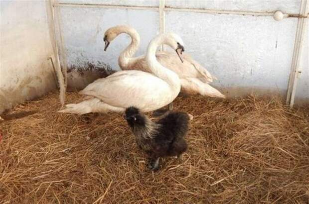 Людмила спасла целую стаю лебедей забрав их на зимовку к себе