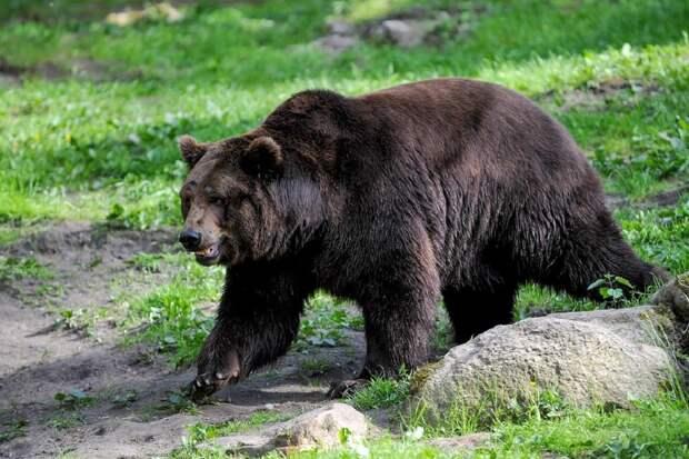 Васька против Мишки: кот не подпустил медведя к отдыхавшим в лесу хозяевам