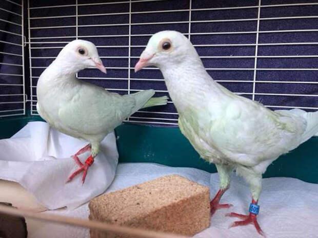 Эти голуби ослепли, после того как кто-то пытался покрасить их в зеленый цвет.