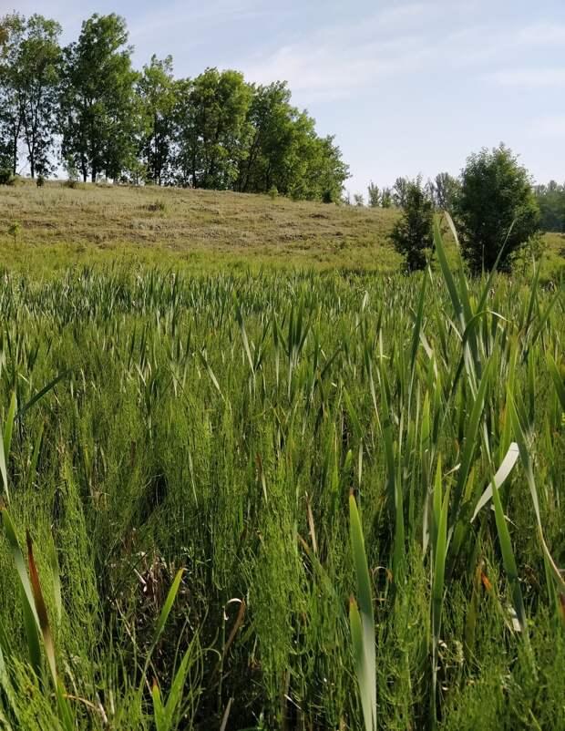 Болота всегда зарастают влаголюбивой растительностью. Здесь это рогоз, камыш и хвощ