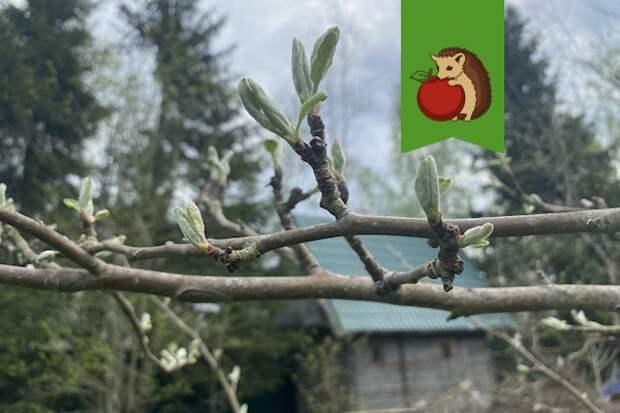 На яблоне распускаются листочки: что нужно успеть сделать сейчас, чтобы урожай был богаче и вредители его не уничтожили?