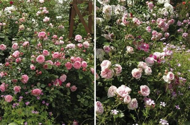 флорибунда Роза Mariatheresia