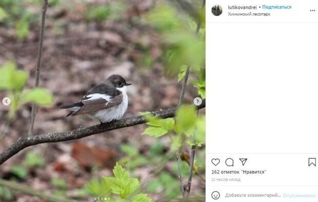 Фото дня: нашествие мухоловок в Химкинском лесопарке