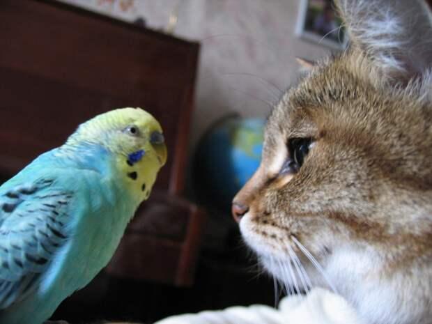 А может ли так разговаривать волнистый попугай?