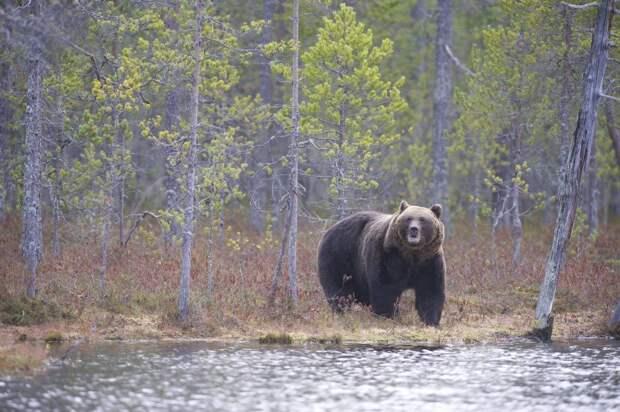 Картинки по запросу охота на медведя