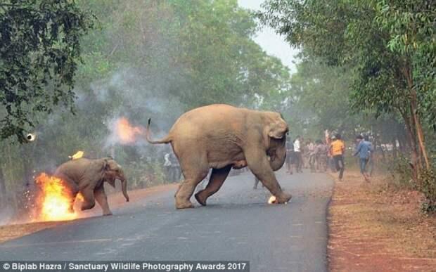 """По словам фотографа, в момент фото слоненок """"отчаянно кричал"""", а толпа людей лишь насмехалась над животными. """"Для этих умных, благородных животных, которые жили в этих местах веками, ад уже настал здесь и сейчас"""", - говорит фотограф жестокость, животные, индия, премия, происшествие, слоны, фото, шок"""