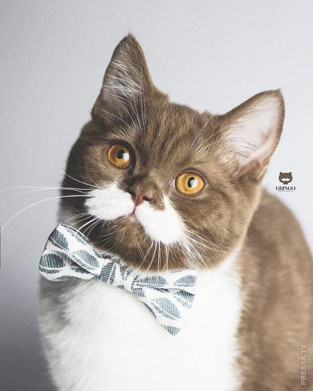 Кот Гринго выглядит, как настоящий джентльмен со своими белыми усами