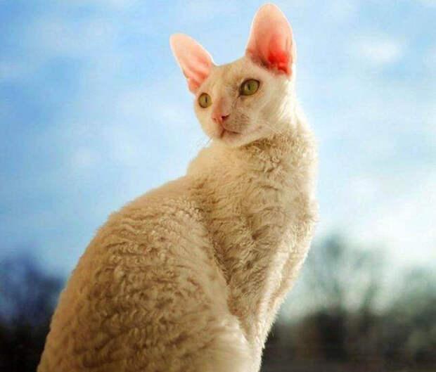 Кудрявая кошка Корниш-рекс