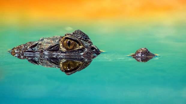 Маленький аллигатор пробрался на пляж в США