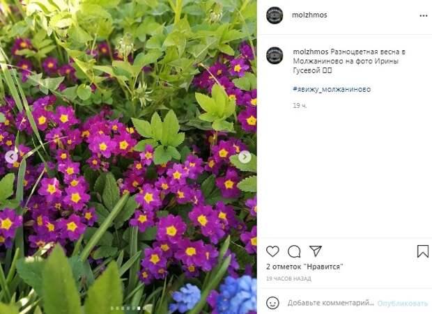Фото дня: фиолетовая примула украсила Молжаниновский
