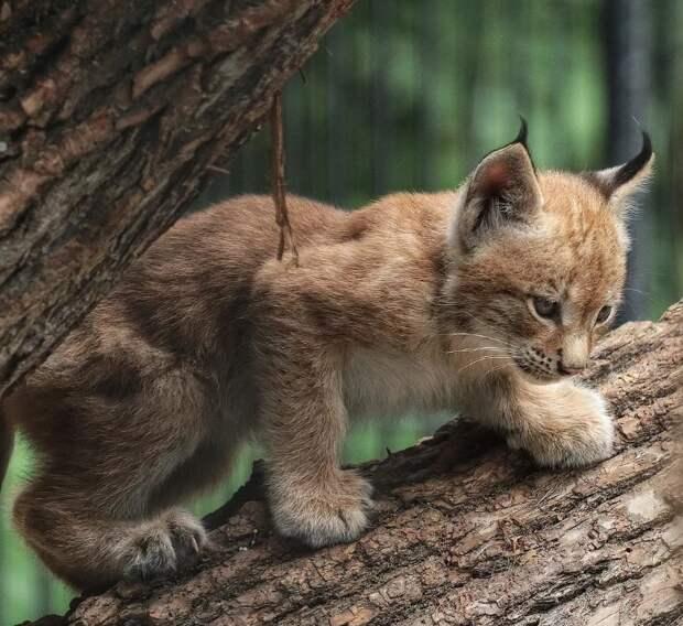 Рысёнок, подобранный лесником, вырос, и спас своего хозяина от браконьера