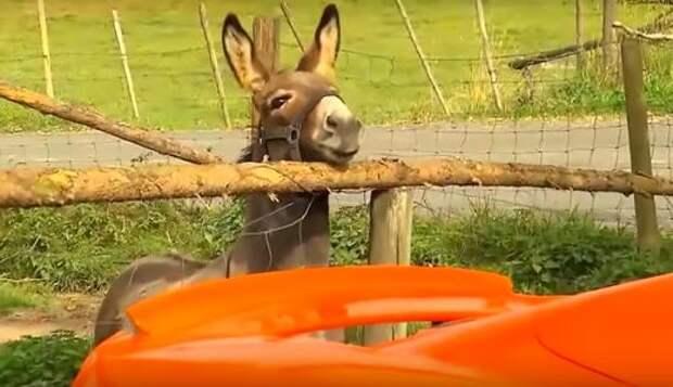 Суд наказал владельца осла, принявшего оранжевый McLaren за морковку