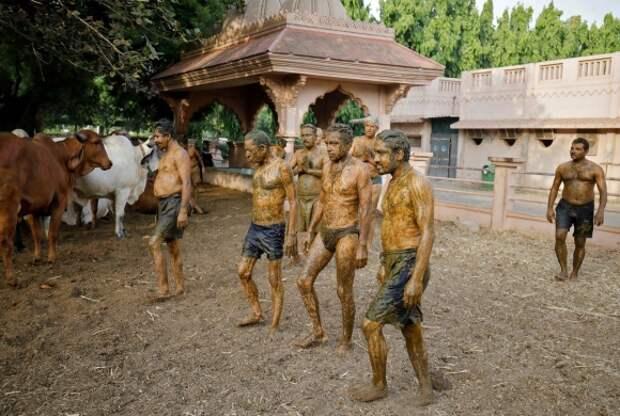 Индусы мажутся коровьим навозом, чтобы спастись от коронавируса